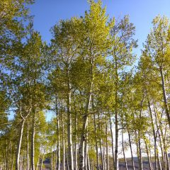 Plenty of Aspens