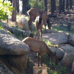 Wild Elk along the hiking trails