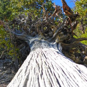 A downed tree from probably many years ago.