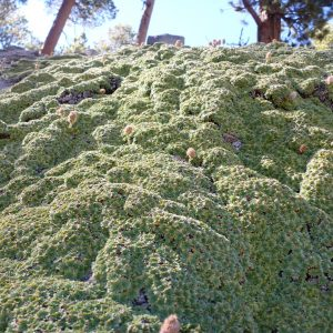 Broccoli? No, but it sure looks like it.