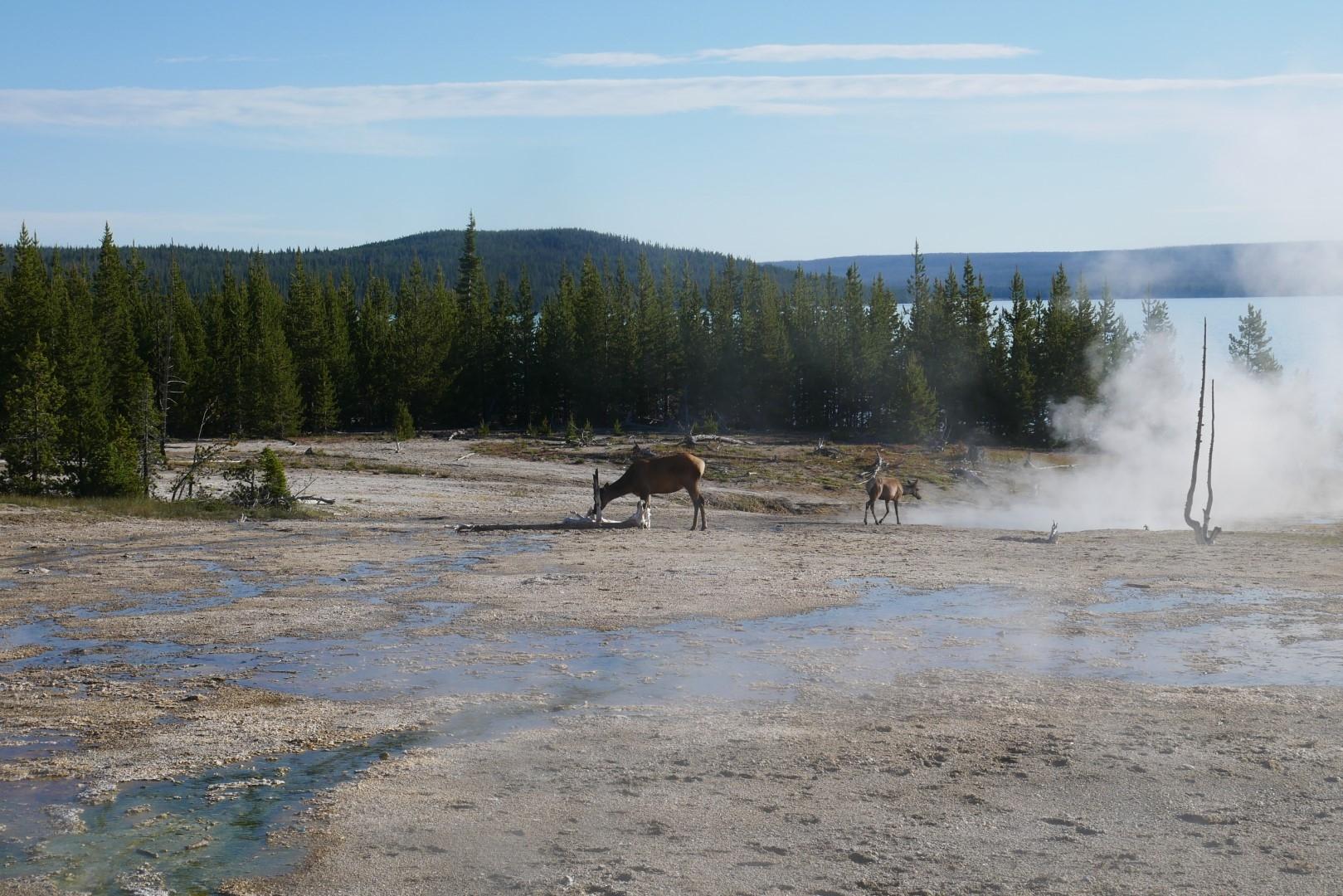 Elk at West Thumb